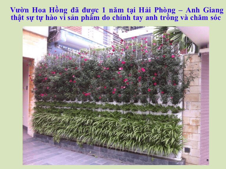 tuong-xanh-dung-hoa-hong-sau-1-nam-31-768x576